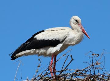 """White stork - during the annual inventory of nests in one of the communes in central Poland from the """"owners&"""