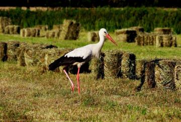 White stork - These birds are returning to Poland more or less in March or April. Why were so many children born a