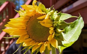 sunflower - colorful sunflower puzzle