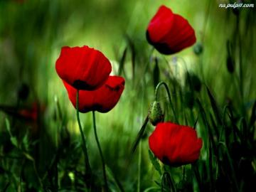 Red poppies - Red poppies were blooming ..