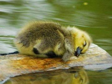 tired duckling - I got tired very much and I need to rest