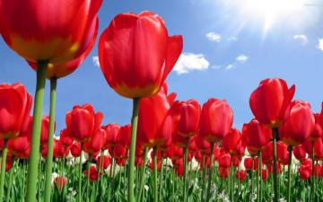 Red tulips - Red tulips .........Colorful flowers.