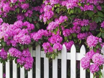 Rhododendron - purple rhododendron