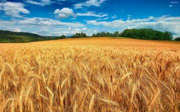 Grain - A field of grain in the summer, and in the background is a forest.