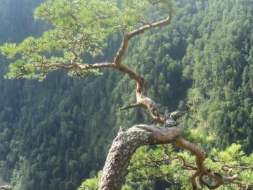 pine in the mountains - pine in the dwarf mountains