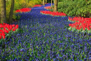 A floral path. - A floral path with tulips and sapphires.