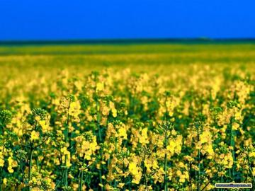 rapeseed field - rural landscape, fields, crops, agriculture