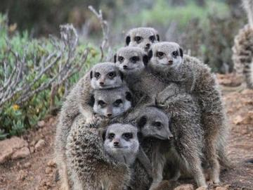 Every seven heads are not one - the meerkats family is very consistent
