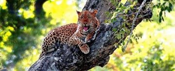 At noon - A leopard on a tree waiting for rain