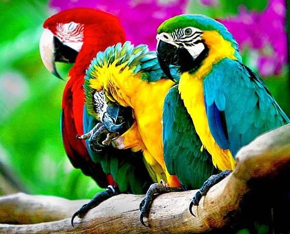 colorful parrots - A beautiful photo of colorful parrots. Parrots are beautiful animals (3×3)