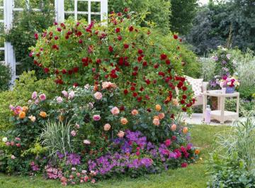 Bushes of roses. - Flowerbed in a summer garden.
