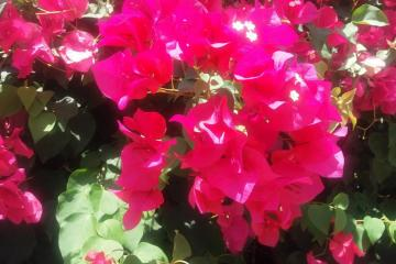 bugewille in the sun - bougainvillea in the midday sun