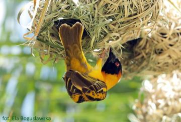 Throated. - A tweeter entangled the nest with his wife. Because they are hysterical. And the thing is happening