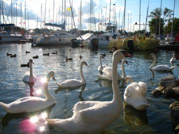 By the lake. - Swans on the lake. Sailboats.