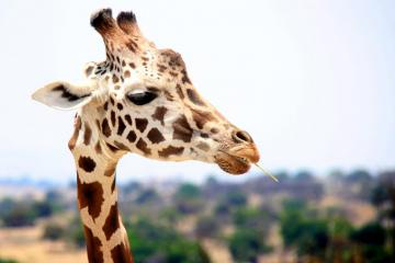 Portrait of a giraffe - Giraffes live on the African continent. They occur mainly from northern Chad, up to the southern par