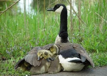 Bird family - adorable little ones under the wings of my mother
