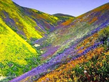 Himalayan flowers - Valley of flowers in the Himalayas.