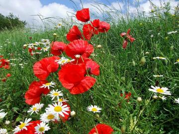 Poppies in the meadow. - Poppies and camomile in the meadow.