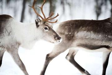 Arctic reindeer - Reindeer perfectly mastered moving around the snow and swampy terrain. In addition, they can run lon