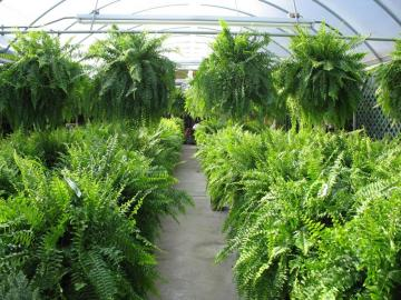 Ferns - Paprotas - always beautiful healthy for the environment (12×12)