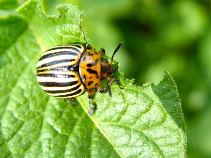 Colorado potato beetle - beetle from the stalky family, the species brought to Europe. Common potato crop pest (10×10)