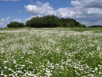 Camomile meadow - Landscapes. Camomile meadow (8×8)