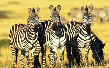 Three zebras - Zebra is a mammal similar to a horse with characteristic black and white stripes. Zebras are slower