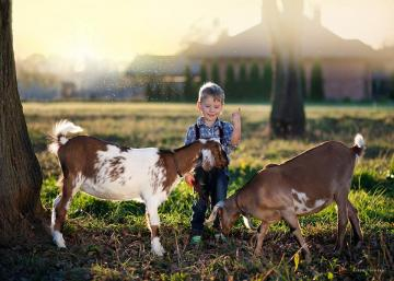 Two goats and a boy. - Two goats and a boy.