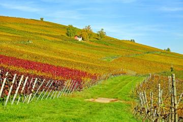 Vineyards, vineyards and viney - Vineyards, vineyards and vineyards ...