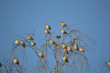 panorama - family gathering of the waxwing