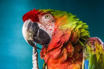 Amazing Macaw parrot - Ara is a kind of large birds from the subfamily of neotropical parrots in the family of parrots. Inc