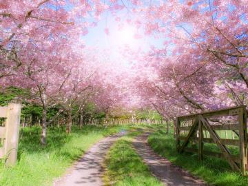 Blooming orchard - Spring is the time when trees bloom.