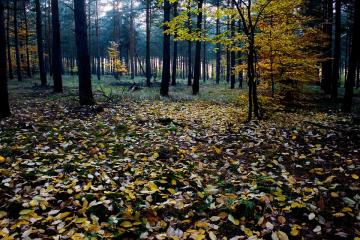 Autumnal forest - Time for mushrooms and colorful leaves.