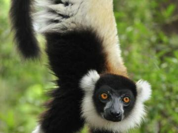 lemurs - Indri, also known as Babakoto, is a species of lemur-forming primate belonging to the Indriidae fami