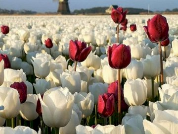 White Tulips - A field of white tulips (10×10)