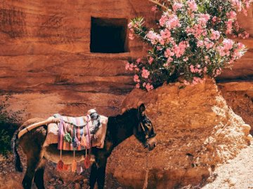 Donkey looking for shade in - Black donkey near the pink flowers. Brooklyn