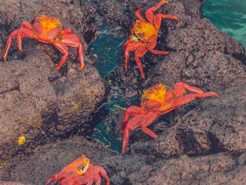 Crabs, food - Four crabs on brown rock. London, United Kingdom