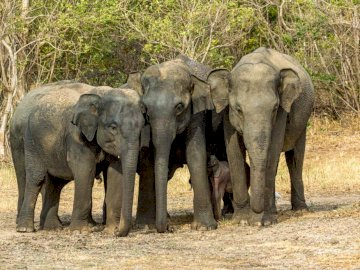 Sri Lankan elephant - Elephants come together to protect the little one
