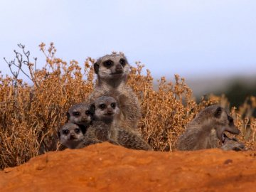 Waking up at 4am to trek into - Group of Meerkats. London