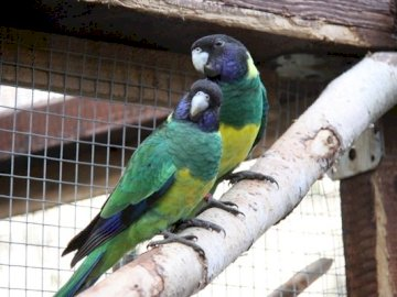Black-headed Rosella - Lifestyle and behavior These parrots live in pairs or small family groups. They are very active als