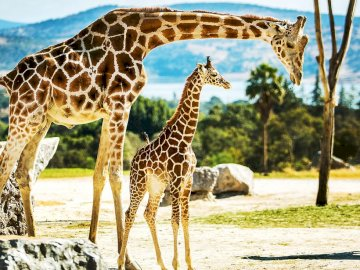 A giraffe in a herd - Arrange the puzzles so that they use the whole picture.