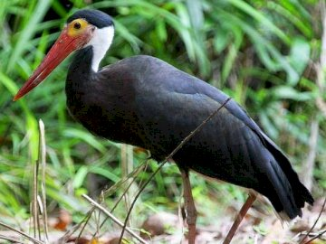 Humped Stork - Occurrence and environment The species of this stork is found in Malaysia and several islands of In