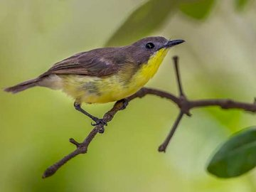 Yellow-throat bush - Occurrence and environment This bird is found almost throughout Indonesia.