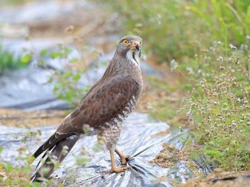 White-browed Buzzard - Occurrence and environment This species is found in southern and eastern Asia along with Indonesia.