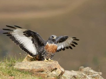 Cape Buzzard - Occurrence and environment This species is found in the southern part of Africa.