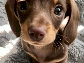 Little dachshund - It is too cute this little chocolate dog