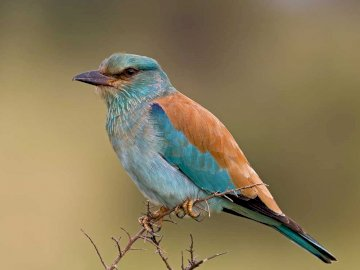 Kraska (Coracias garrulus) - Lifestyle and behavior The prey catches on the ground. Is a migratory bird. It arrives in Poland in