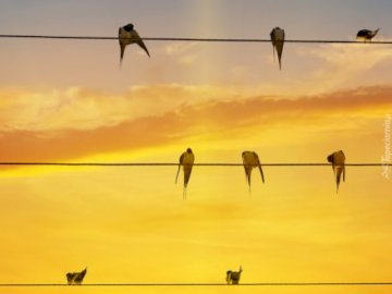 swallows - Swallows to knit against the backdrop of the setting sun