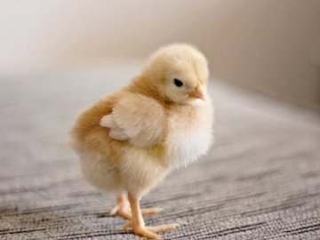 Chicken - Complete the puzzle, what is in the picture?